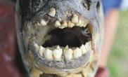 长着类似人类牙齿的鱼(图)