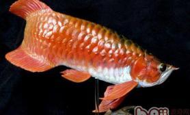 怎样区分过背金龙鱼和红尾金龙鱼
