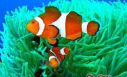 金边透红小丑鱼的外形特点