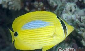 四棘蝴蝶鱼的饲养环境