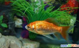 适当养水草有助于金鱼成长(图)