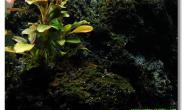 在火山石上爆点藻水草缸感觉挺自然的沉木杜鹃根青龙石水草泥