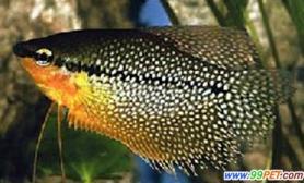 珍珠马甲鱼的疾病防治之:真菌病(图)