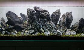 150cm青龙石开缸一个月的状态