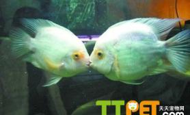 接吻鱼好不好养