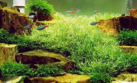 造景鉴赏小景中夺目的鹿角苔泡泡海
