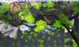 又添了些后景草和中景草水草缸看看怎么样水草缸给点建议吧