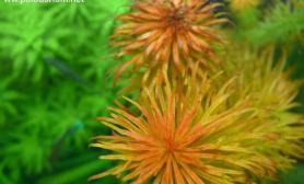 水族箱造景怎样才能使水草变红?