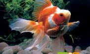 金鱼的十种常见病防治中尺寸设计