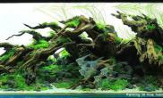 150CM超白缸水草造景沉木杜鹃根青龙石布景