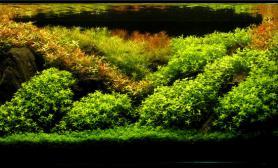 珍珠草红色水草迷你矮