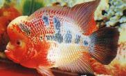 罗湖关检获价值上万元观赏鱼(图)