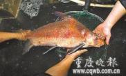 9斤重野生成年雄性胭脂鱼(图)