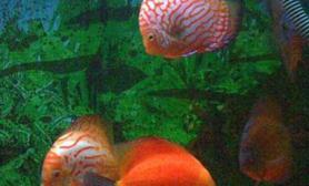 七彩神仙鱼擦缸的原因(图)