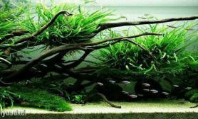 沉木细叶铁浪莎草超白鱼缸化妆沙造景