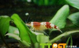 新手如何饲养水晶虾