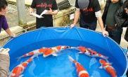日本锦鲤未受日本地震影响305万日元拍得铭血种鱼(图)