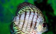 不同阶段七彩神仙鱼的饲喂方法