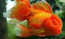 红虎头金鱼的喂食要点