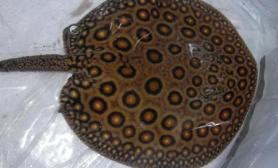 珍珠魟鱼的疾病防治(图)