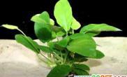 小水榕的生长特性(图)