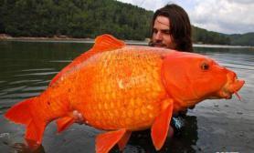 法国渔夫捕获最大野生鲤鱼重达13.6公斤(图)