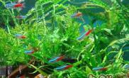 红绿灯鱼的饲养环境
