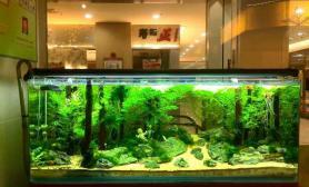 水草造景日贺寿司第三年翻缸景基本成景