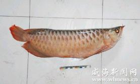 水族馆遭窃价值5万两条红龙鱼致1死1伤(图)