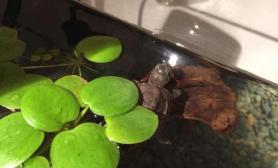 浮萍龟缸水草区乱入……