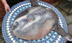 英东海岸发现翻车鱼(多图)