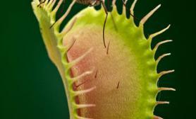 揭秘食虫植物致命陷阱