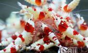 水晶虾抱卵该如何处理