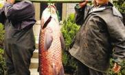 渔民捕获103斤重青鱼至少有30岁鱼龄