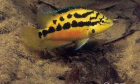 鱼类为什么会护卵护幼