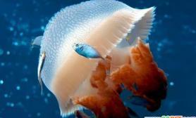 宠物水母游过来了(多图)