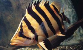 影响虎鱼生长状态的因素