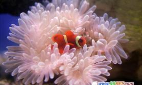 小丑鱼发出唧唧声求爱(图)