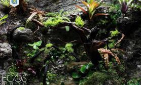 敞口雨林缸水草缸又见箭毒蛙