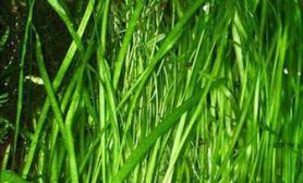 水草品种资料简介之苦草