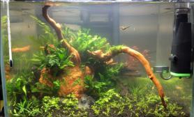 新手水草缸大家帮忙看下椒草上是啥沉木杜鹃根青龙石水草泥
