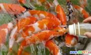 身价百万的锦鲤只属个别筛选一次99%鱼苗被淘汰(图)