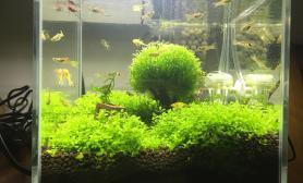 新手20小方缸的变迁水草缸西兰花长大了