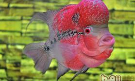 详解罗汉鱼受欢迎的原因