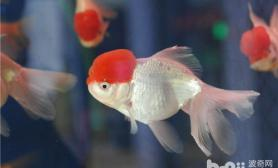 详解金鱼体色的变化