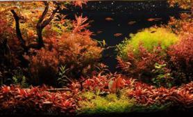 丹麦风格的红色水草缸水草缸绝对惊艳水草界