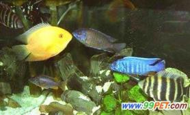 观赏鱼之常见病----肠炎(图)