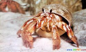 家庭饲养寄居蟹必须营造海滩小环境(图)