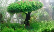 水草莫丝树造景图片集锦