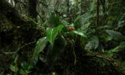 植物原生境(Orchidaceae)Scaphosepalum(Scaho.) 碗萼兰属